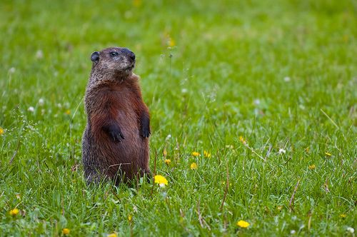 800px-Groundhog-Standing2