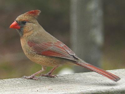800px-Northern_Cardinal_Female-27527