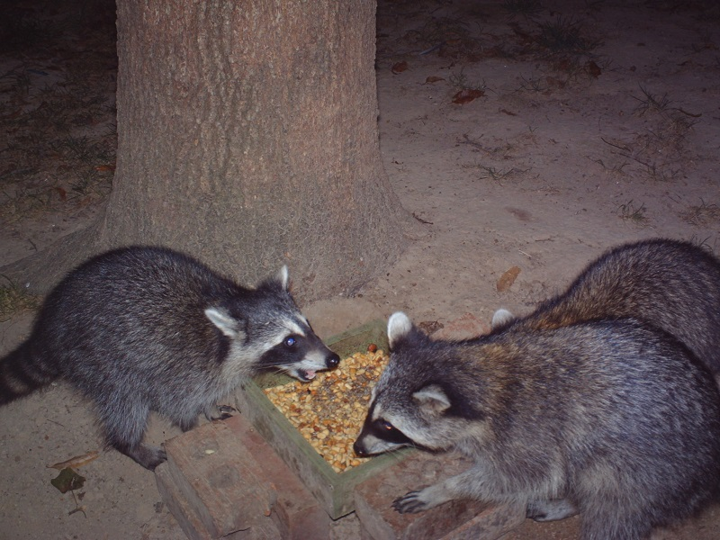 3.raccoonfight