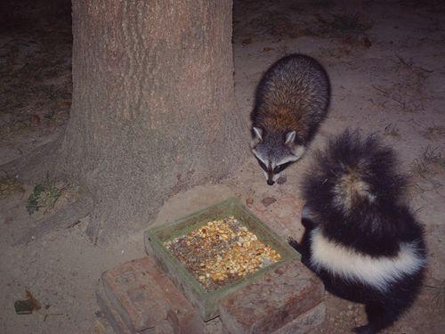 5.raccoon1goodskunk